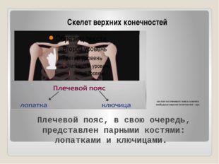 состоит из плечевого пояса и скелета свободных верхних конечностей – рук. Ске