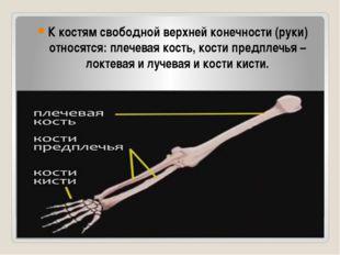 К костям свободной верхней конечности (руки) относятся: плечевая кость, кост