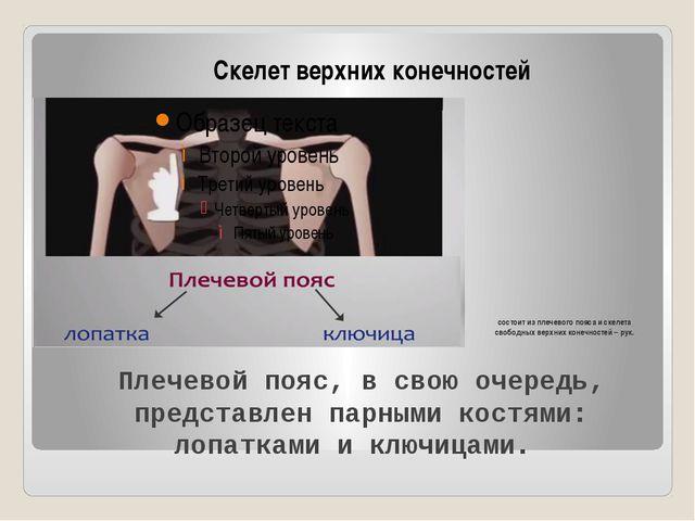 состоит из плечевого пояса и скелета свободных верхних конечностей – рук. Ске...