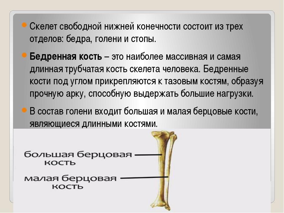 Скелет свободной нижней конечности состоит из трех отделов: бедра, голени и...
