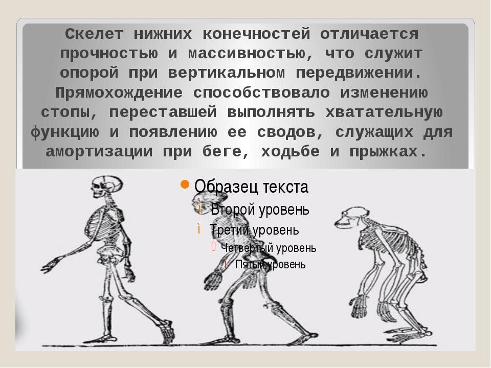 Скелет нижних конечностей отличается прочностью и массивностью, что служит о...