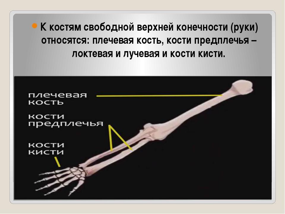 К костям свободной верхней конечности (руки) относятся: плечевая кость, кост...