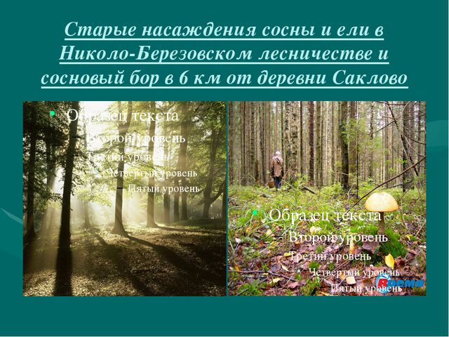 Старые насаждения сосны и ели в Николо-Березовском лесничестве и сосновый бор...