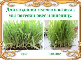 Для создания зеленого оазиса , мы посеяли овес и пшеницу. ОВЕС ПШЕНИЦА