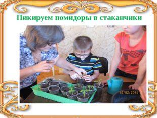 Пикируем помидоры в стаканчики
