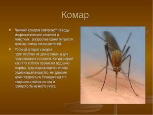 Комар Личинки комаров извлекают из воды микроскопические растения и животных,
