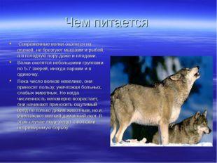 Чем питается Современные волки охотятся на оленей, не брезгуют мышами и рыбой