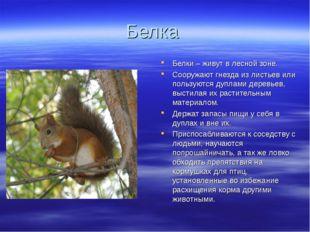 Белка Белки – живут в лесной зоне. Сооружают гнезда из листьев или пользуются