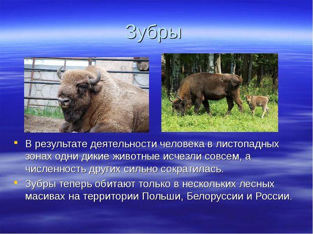 Зубры В результате деятельности человека в листопадных зонах одни дикие живот...