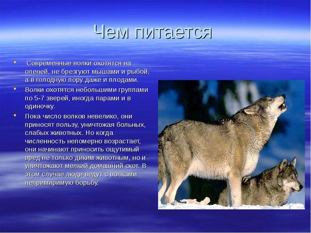 Чем питается Современные волки охотятся на оленей, не брезгуют мышами и рыбой...