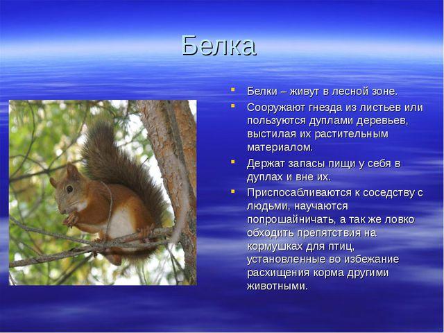 Белка Белки – живут в лесной зоне. Сооружают гнезда из листьев или пользуются...