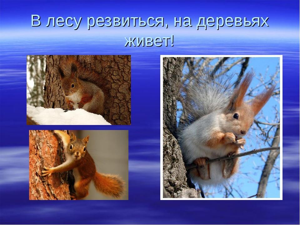В лесу резвиться, на деревьях живет!