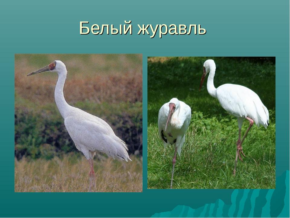 Белый журавль