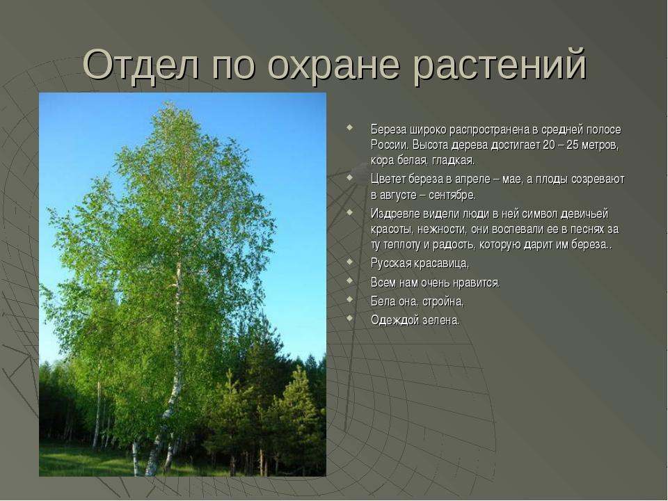 Отдел по охране растений Береза широко распространена в средней полосе России...