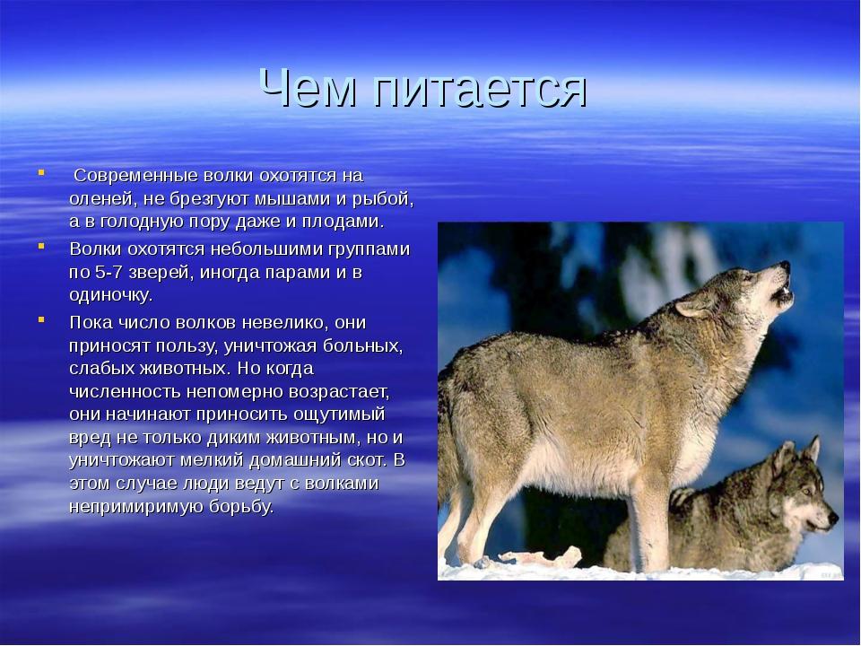 Реферат про волков с картинками