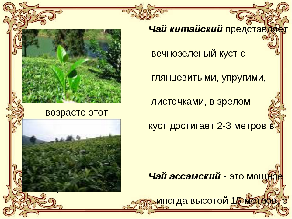 Чай китайский представляет собой вечнозеленый куст с мелкими, глянцевитыми,...