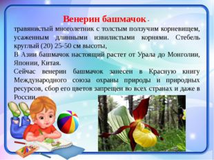 Венерин башмачок- травянистый многолетник с толстым ползучим корневищем, уса