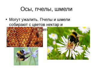 Осы, пчелы, шмели Могут ужалить. Пчелы и шмели собирают с цветов нектар и пер