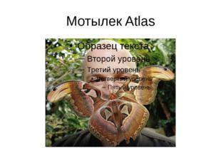 Мотылек Atlas