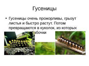 Гусеницы Гусеницы очень прожорливы, грызут листья и быстро растут. Потом прев