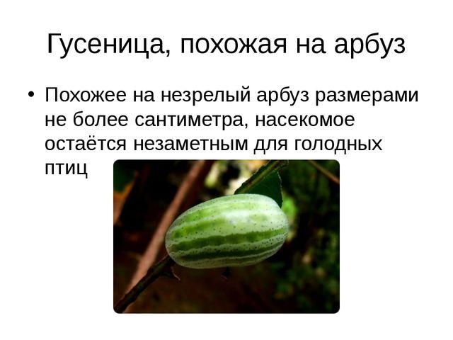 Гусеница, похожая на арбуз Похожее на незрелый арбуз размерами не более санти...