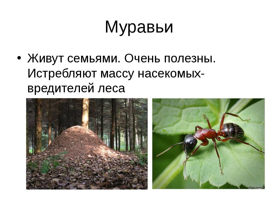 Муравьи Живут семьями. Очень полезны. Истребляют массу насекомых-вредителей л...
