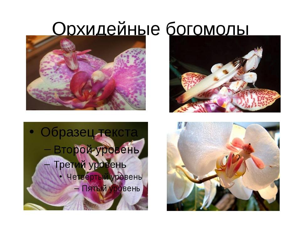 Орхидейные богомолы