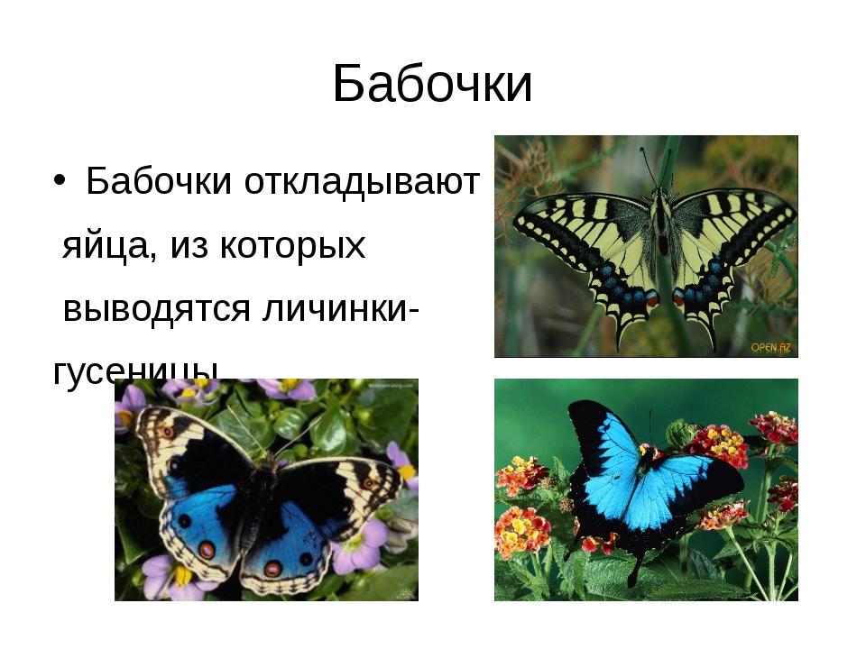 Бабочки Бабочки откладывают яйца, из которых выводятся личинки- гусеницы