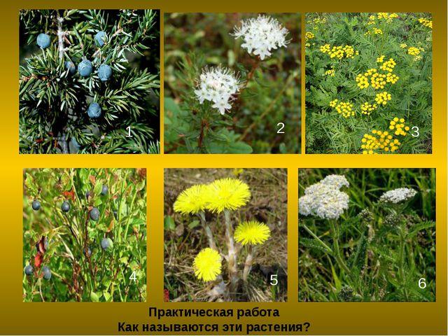 Практическая работа Как называются эти растения? 1 2 3 4 5 6