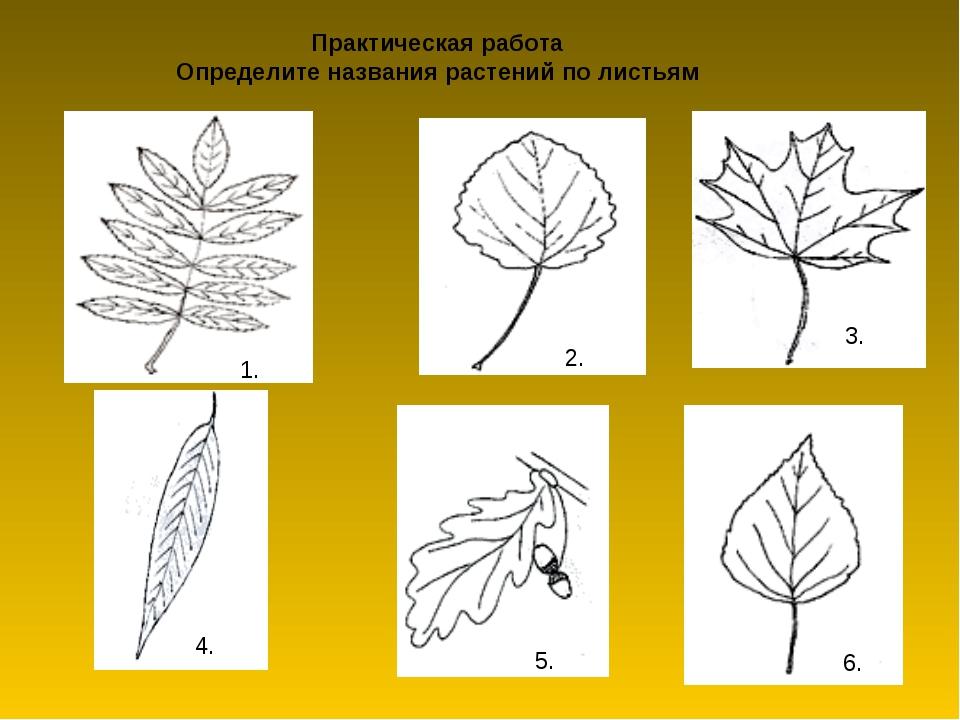 Практическая работа Определите названия растений по листьям 1. 2. 3. 4. 5. 6.