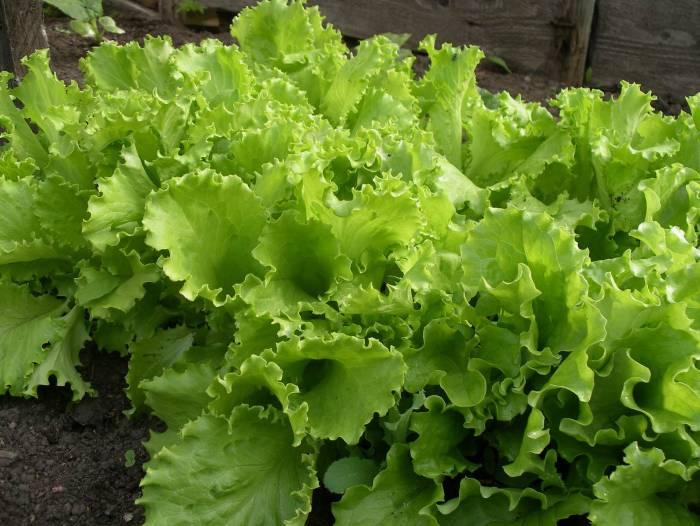 Описание: Салат (Lactuca sativa L) - виды и сорта, приемы возделывания