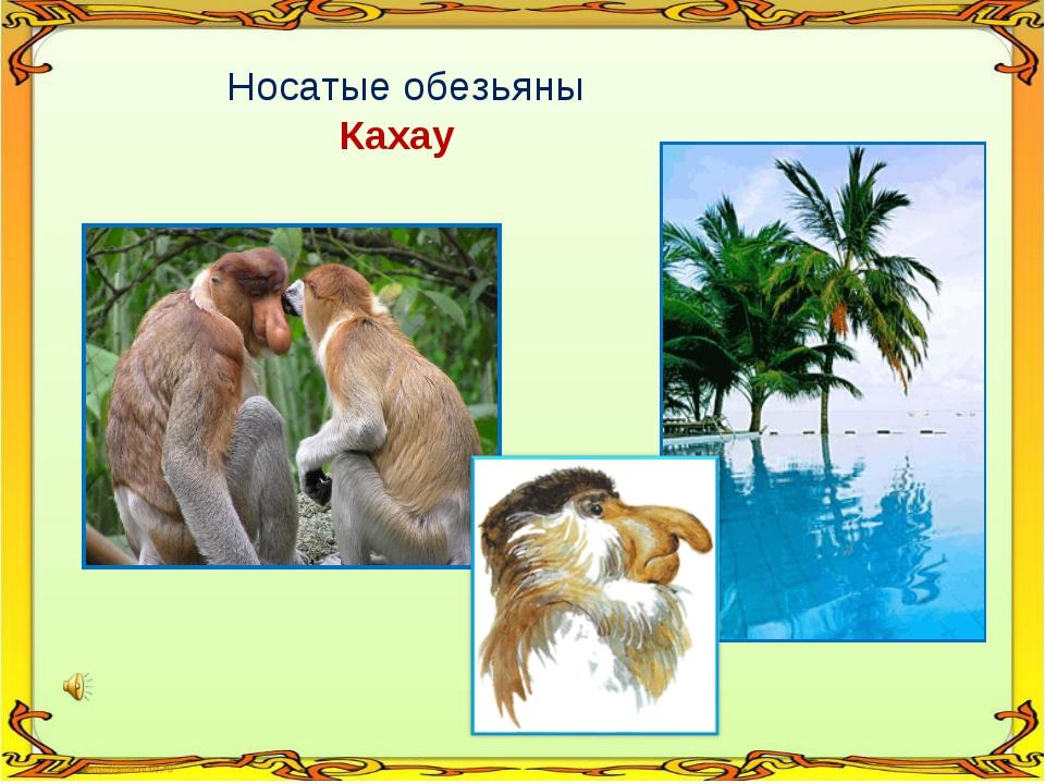 Носатые обезьяны Кахау