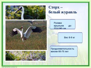 Стерх – белый журавль Размах крыльев до 210-240 см. Вес 8-9 кг Продолжительно