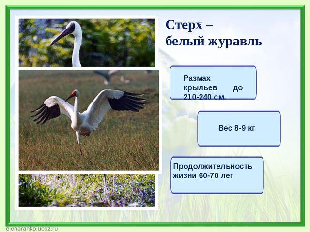Стерх – белый журавль Размах крыльев до 210-240 см. Вес 8-9 кг Продолжительно...