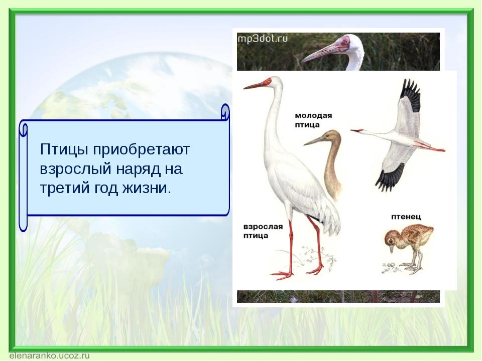 Птицы приобретают взрослый наряд на третий год жизни.