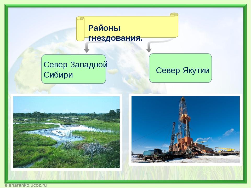 Районы гнездования. Север Западной Сибири Север Якутии