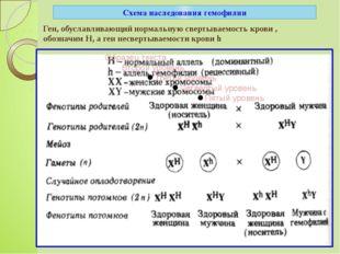 Схема наследования гемофилии Ген, обуславливающий нормальную свертываемость к