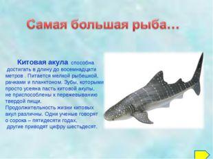 Китовая акула способна достигать в длину до восемнадцати метров . Питается м