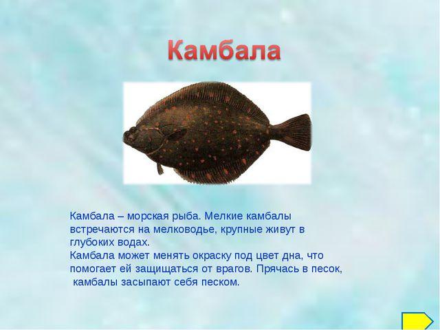 Камбала – морская рыба. Мелкие камбалы встречаются на мелководье, крупные жив...