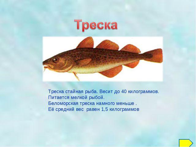 Треска стайная рыба. Весит до 40 килограммов. Питается мелкой рыбой. Беломорс...