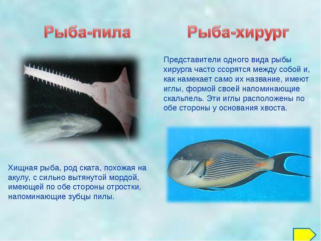 Представители одного вида рыбы хирурга часто ссорятся между собой и, как наме...