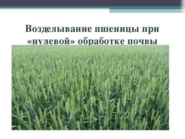 Возделывание пшеницы при «нулевой» обработке почвы