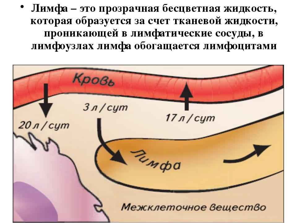 Лимфа – это прозрачная бесцветная жидкость, которая образуется за счет тканев...