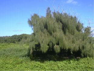 Казуарины или «рождественское дерево», а также «железное дерево» из-за прочно
