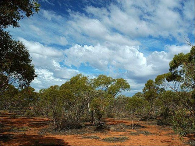Низкорослые эвкалипты Австралии
