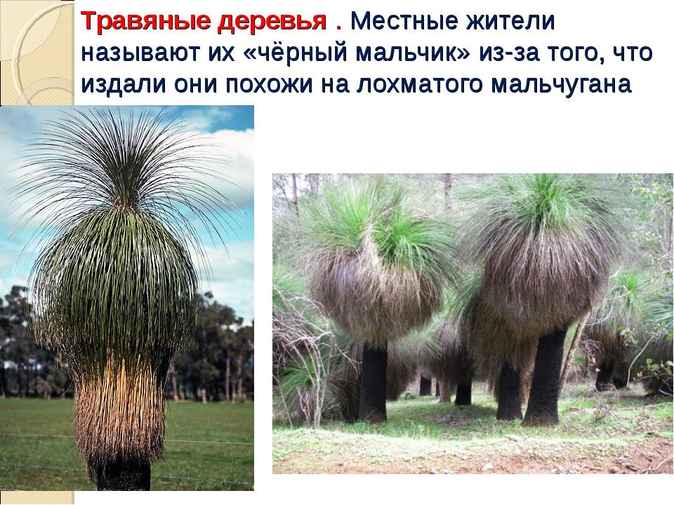 Травяные деревья . Местные жители называют их «чёрный мальчик» из-за того, чт...