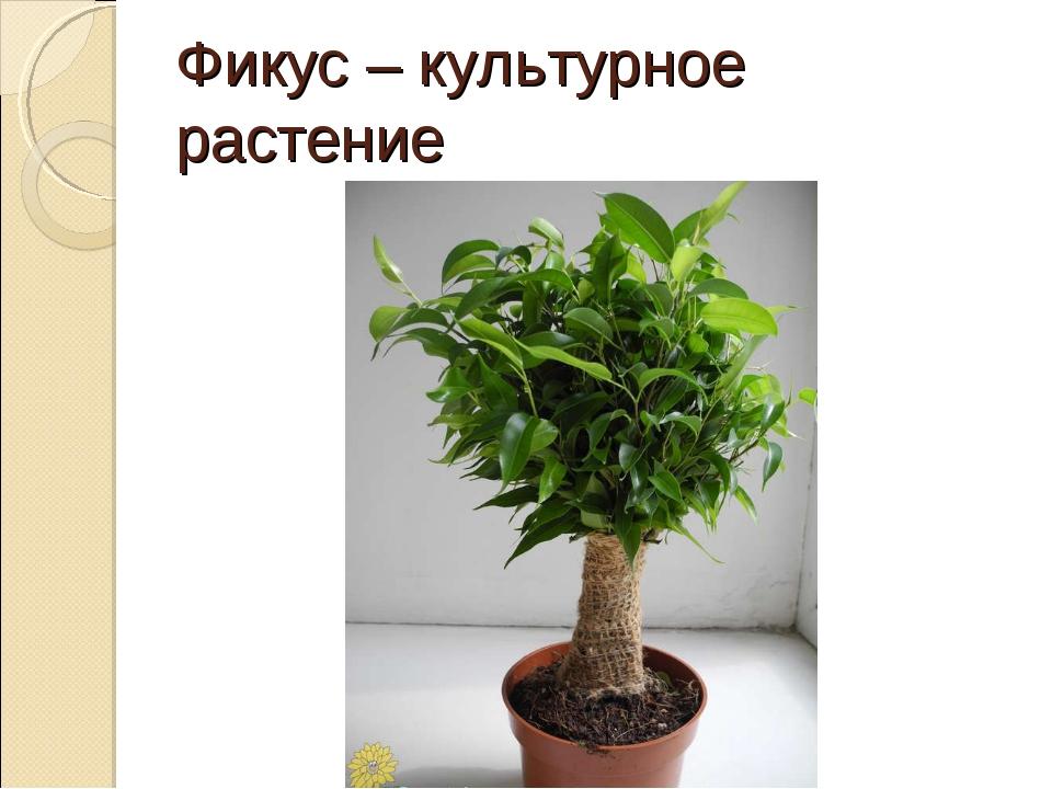 Фикус – культурное растение