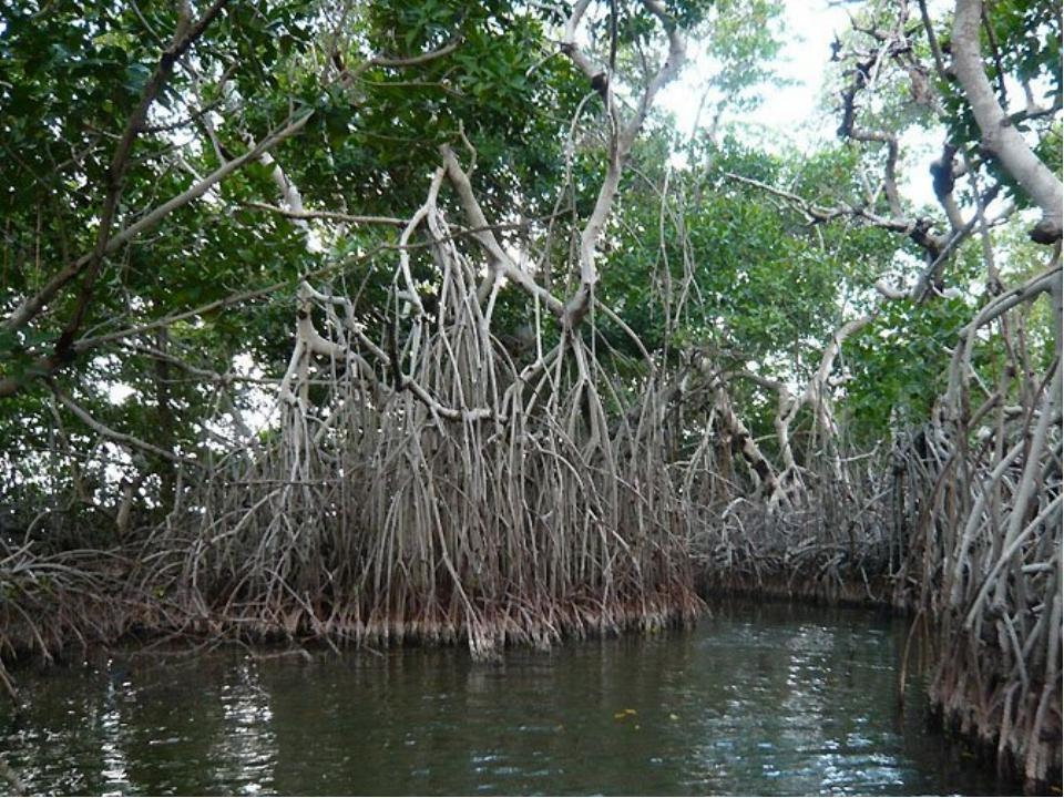 Мангровые леса* Заросли вечнозеленых деревьев и кустарников. Их корни находят...