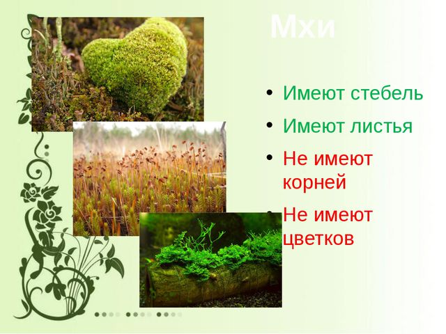 Мхи Имеют стебель Имеют листья Не имеют корней Не имеют цветков