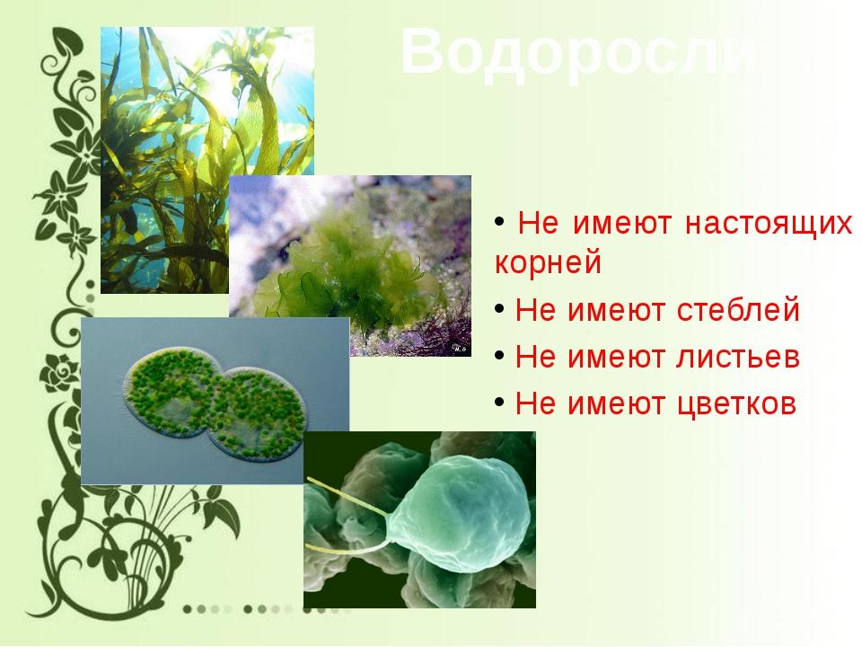 Водоросли Не имеют настоящих корней Не имеют стеблей Не имеют листьев Не имею...